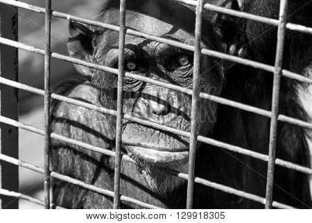 A shot of a sad chimpanzee in the cage of a zoo