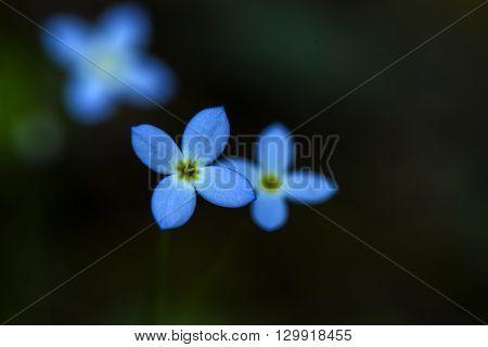 Close up photo of azure bluet wild flower
