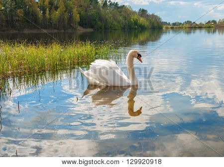 White swan on the water of Lake Forest