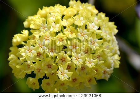 A close up view of Hoya parasitica flowers
