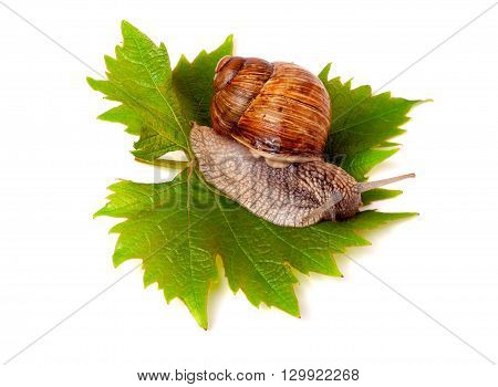 snail crawling on the grape leaf on a white background.