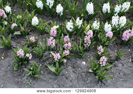 Pink and white hyacinth flowers in early spring