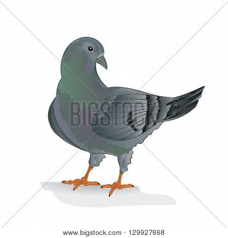 Carrier pigeon domestic breed sports bird vector illustration