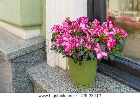 Potted flowers of pink azalea. Street decoration with plants and flower compositions. Moscow Russia.