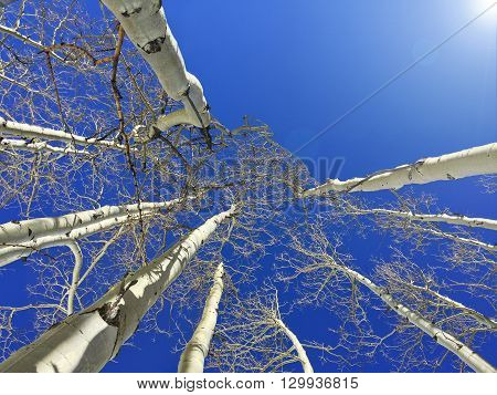 Looking up at a cluster of Aspen Trees on a clear sunny day
