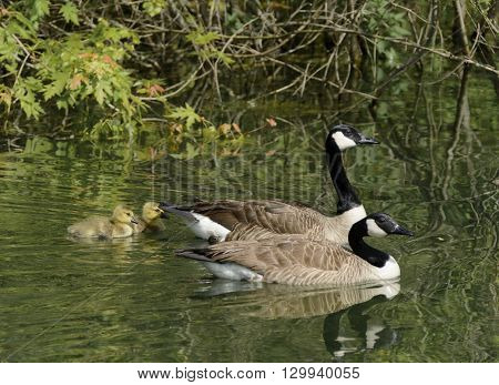 A Canada Goose (Branta Canadensis) family swimming on a lake in York County Pennsylvania USA.