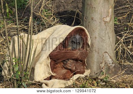 A Sumatran orangutang hiding under a cloth