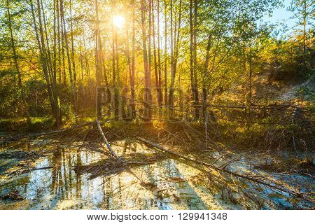 Sunset Sunrise In Summer Sunny Forest Woods and Wild Bog. Nature Woods,  Sunlight Background.