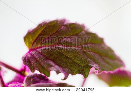 Close-up of Purple passion velvet houseplant (Gynura aurantiaca) leaves