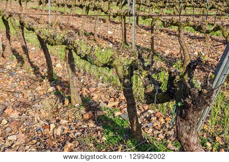 Grapevines In Spring.