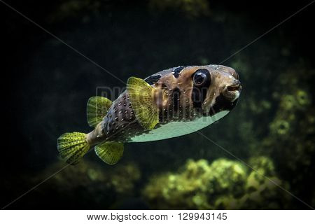 Spot-fin porcupinefish. Sea fish-urchin. Fish-hedgehog in the quiescent state.