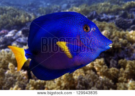 Yellowtail tang - (Zebrasoma xanthurum) close up,