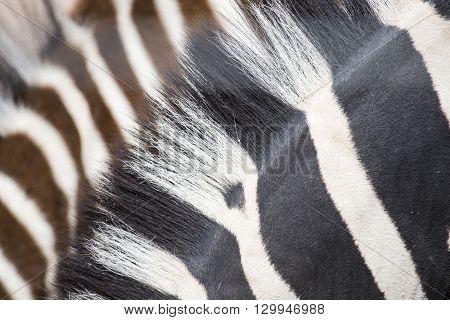 Manes Of Common Zebras