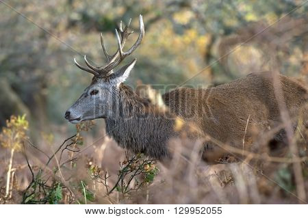 Red Deer Stag (Cervus Elaphus) in long grass at the edge of a wood