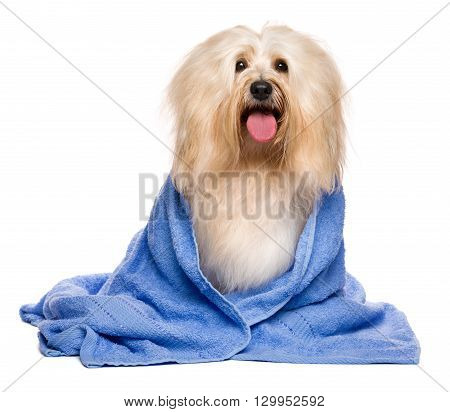 Beautiful happy reddish havanese dog after bath is sitting wrapped in a blue towel isolated on white background