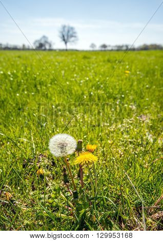 Closeup of a seed head yellow flowering dandelions and overblown flowers together in the foreground of a large meadow on a sunny day in the spring season.