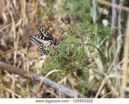 Anise Swallowtail (Papilio zelicaon) female laying eggs on a fennel.