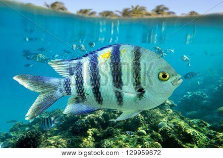 Sergeant Major - (Abudefduf saxatilis) close up.Red sea fish.