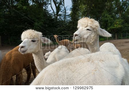 two curious white alpacas on a farm eating grass