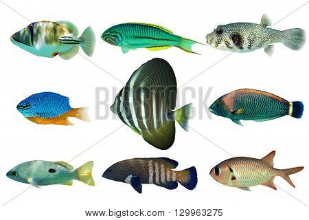 Set of sea nr.4- reef fish on white background