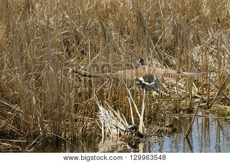 Geese in the wetland during the spring