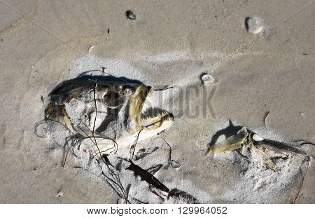 The head of a dead fish laying on the beach