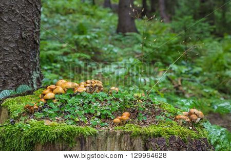 Family Honey Fungus