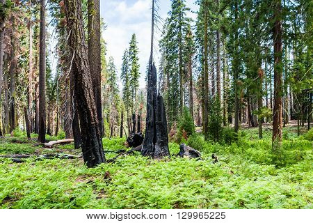 Burnt Giant Sequoia Tree Sequoiadendron Giganteum In Sequoia National Park