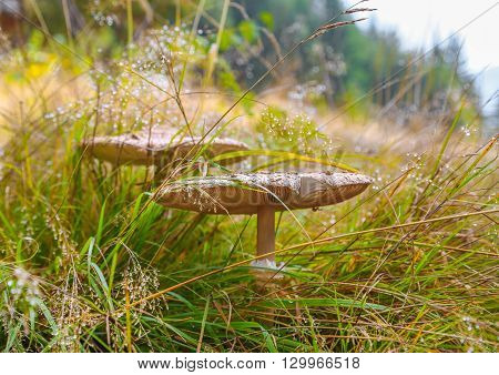 Mushroom an umbrella in the dry grass shot with shallow depth of field. Autumn season.