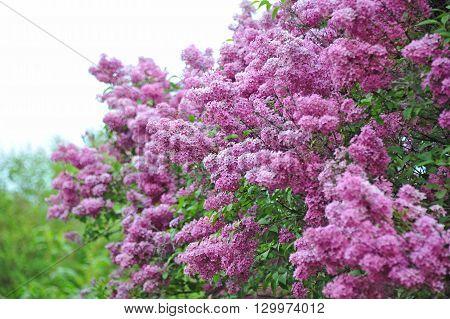 Lilac (syringa) Flower