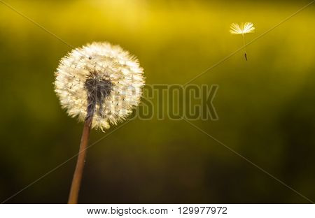 Escape explore journey concept photograph of dandelion flower clock with one seed flying away