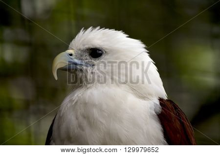 this is a close of a brahminy kite