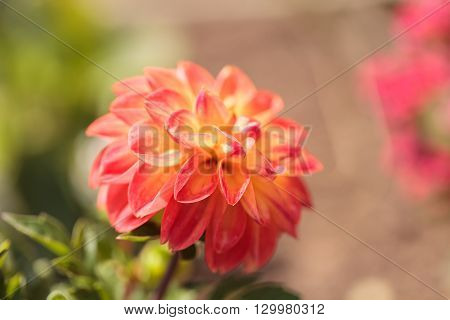 Pink barbarry ball dahlia flower is found in Mexico but can be grown in a garden in the Southern United States.