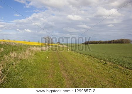 a scenic bridleway beside wheat and canola crops in the yorkshire wolds england under a blue sky in springtime