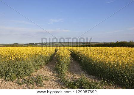 Oilseed Rape Crop In Springtime