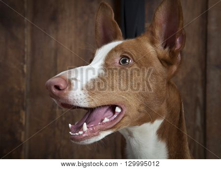 Portrait of purebred Podenco ibicenco (Ibizan Hound) dog indoors.