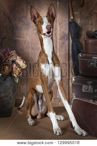 One year old purebred Podenco ibicenco (Ibizan Hound) dog sitting on the floor and looking forward indoors