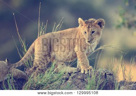 Lion Cub, National Park Of Kenya, Africa