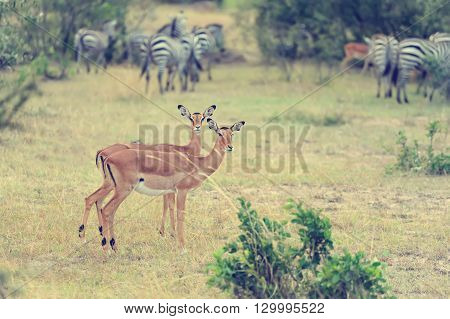Impala On Savanna In Africa