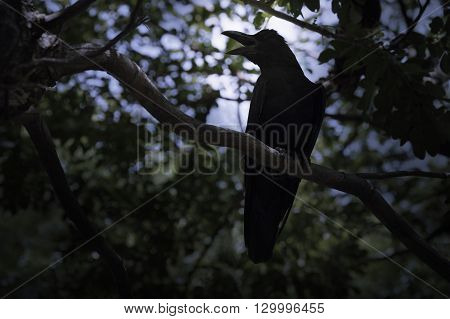 Black crow sitting on the branch of tree Mysterious concept