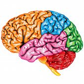 stock photo of thalamus  - Illustration body part vector - JPG