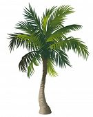 foto of palm  - Vector illustration of the palm tree - JPG