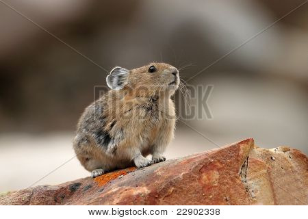 Pika Sitting On Rock - Jasper National Park, Alberta