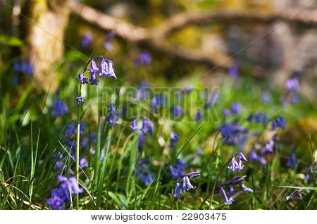 Bluebells In A Lush Spring Wood