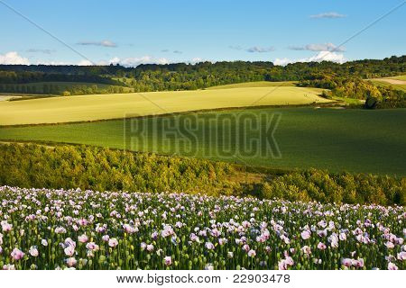 Idyllic Summer Landscape With Poppies