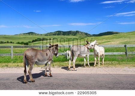 Begging Burros - Custer State Park