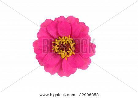 Zinnia (zinnia Violacea) Blossom