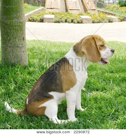 Beagle Profile