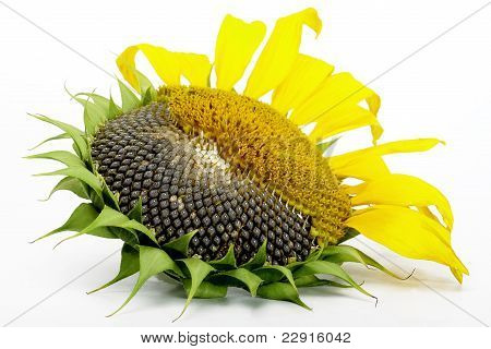 Sunflower Ripe On A White Background