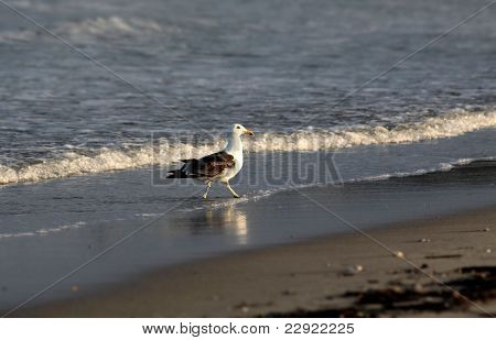 Kelp Gull On The Beach